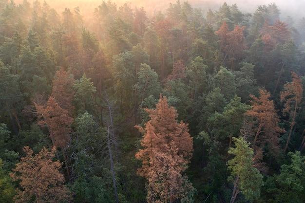 Umierający las górski w porannej mgle.
