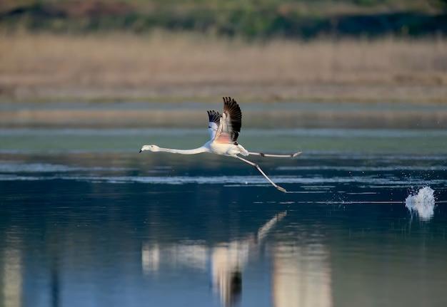Unikalne ujęcia różowych flamingów przypadkowo przelatujących nad ujściem rzeki tiligulsky na ukrainie. ptaki strzelające w locie i stojące w wodzie.