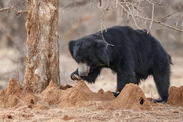 Unikalne zdjęcie niedźwiedzi leniwych w indiach