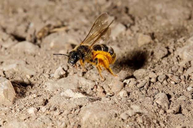 Unosząca się pszczoła potu lasioglossum sp., malta