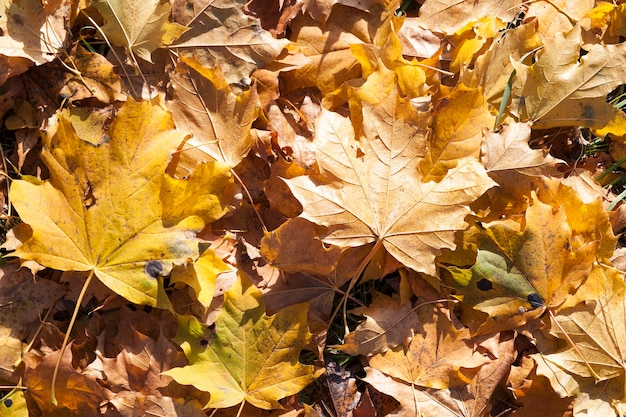 Upadły na ziemię żółty suchy martwy klon liści w okresie jesiennym, zbliżenie na przyrodę w czasie opadania liści