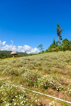 Uprawa chryzantem do produkcji wody z herbatą chryzantemową w chiang mai w tajlandii.