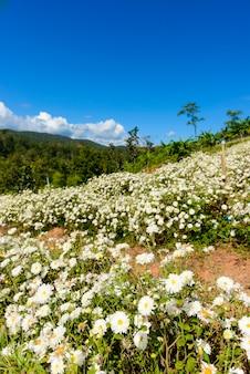 Uprawa chryzantemy do produkcji wody z herbatą chryzantemową w chiang mai w tajlandii.
