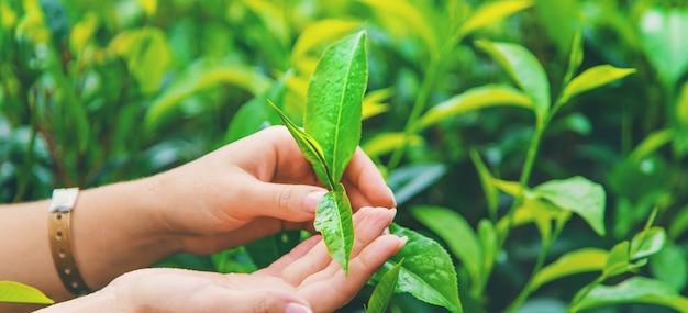 Uprawa herbaty na plantacjach herbaty na sri lance
