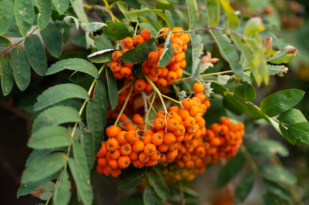 Uprawa jarzębiny z owocami
