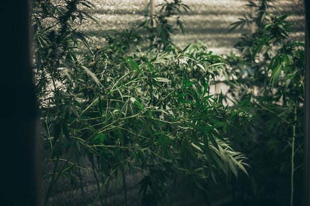 Uprawa konopi w pomieszczeniu, technika uprawy konopi. rosnąca doniczka w zaczynie. etap wegetatywny wzrostu marihuany. marihuana medyczna.