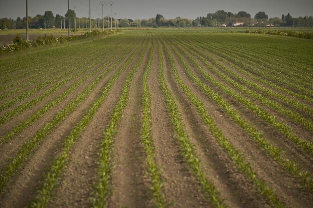 Uprawa kukurydzy na polu: kukurydza jest jeszcze mała, krótko po wykiełkowaniu i widać fakturę plonu w różnych rzędach.