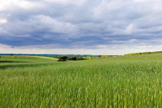 Uprawa na polu ze wzgórzami zbóż w sezonie letnim podczas burzy