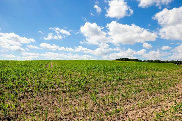 Uprawa na polu zielonej kukurydzy w szeregach. zdjęcie z bliska. gleba na błękitnym niebie z chmurami