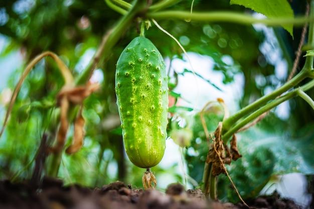 Uprawa ogórków w szklarni z bliska