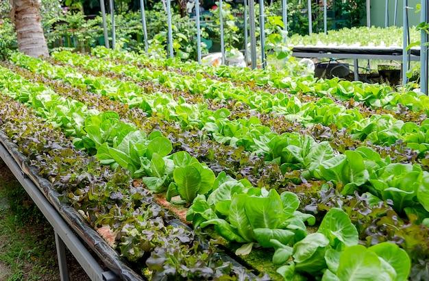 Uprawa organiczna różnego rodzaju sałaty