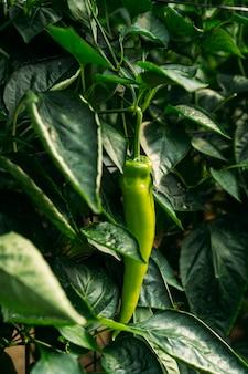 Uprawa papryki włoskiej lub palermo w ekologicznej szklarni. uprawa ekologiczna