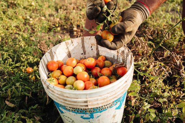 Uprawa pomidorów cherry w apulii na południu włoch