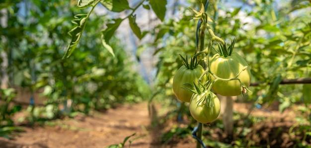 Uprawa pomidorów w jakości organicznej bez chemikaliów w szklarni w gospodarstwie. zdrowe jedzenie, warzywa. kopia przestrzeń