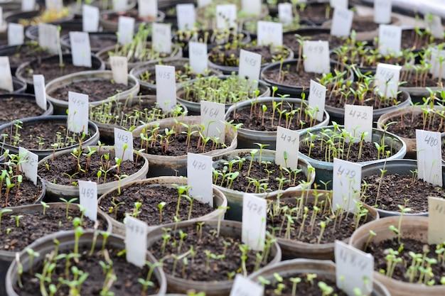 Uprawa sadzonek kwiatów na półkach w szklarni