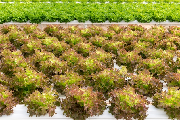 Uprawa sałaty na system hydroponiczny z wodą i nawozami w nawadnianiu.