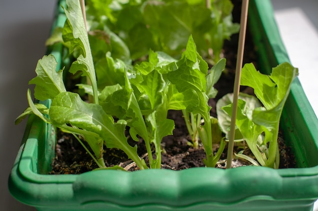 Uprawa sałaty w domu w pudełku na sadzonki