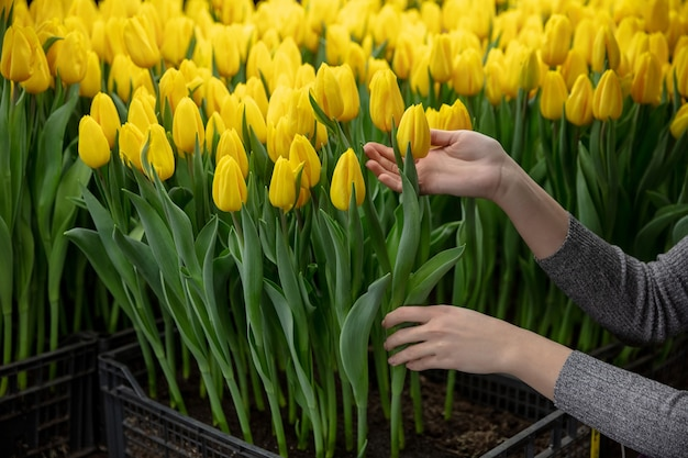 Uprawa Tulipanów W Szklarniowej Manufakturze Na Twoje świętowanie Premium Zdjęcia