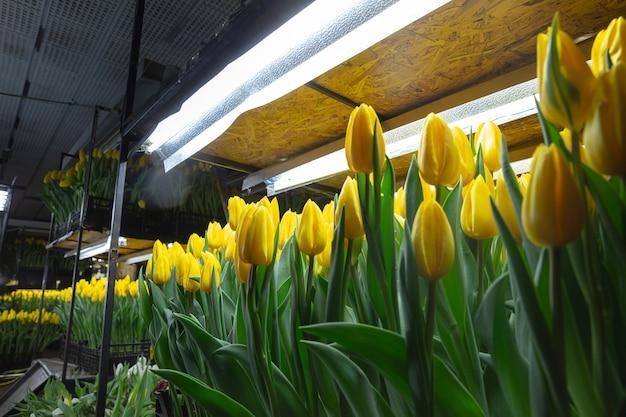 Uprawa tulipanów w szklarniowej manufakturze na twoje świętowanie