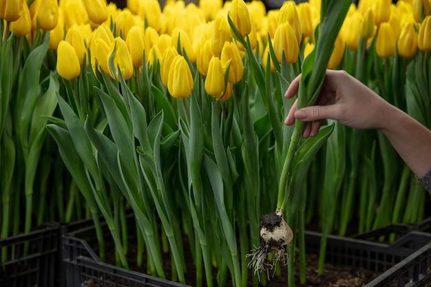 Uprawa Tulipanów W Szklarniowej Manufakturze Na Twoje świętowanie Darmowe Zdjęcia