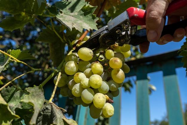 Uprawa winorośli za pomocą sekatorów