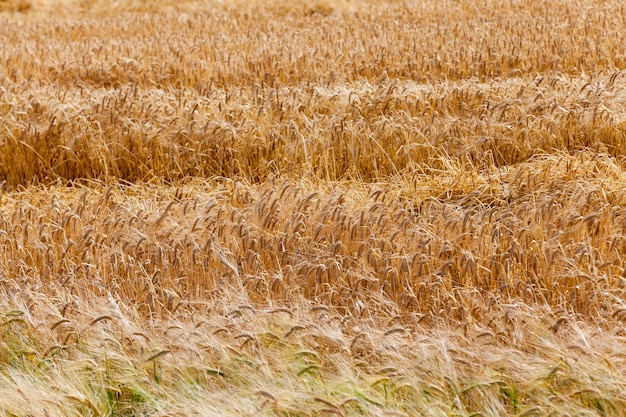Uprawa zboża polowe - pole uprawne, na którym rosną zboża pszenica, białoruś, zboża dojrzałe i pożółkłe,