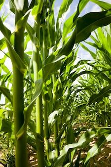 Uprawa zielonej kukurydzy