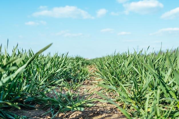 Uprawy roślin polowych rolnictwa z bliska, zielona trawa gleby