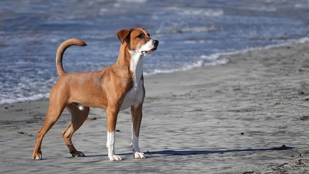 Urocza basenji stojąca na wybrzeżu psiej plaży del mar w kalifornii