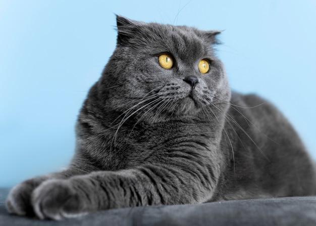 Urocza kotka brytyjska krótkowłosa z monochromatyczną ścianą za nią