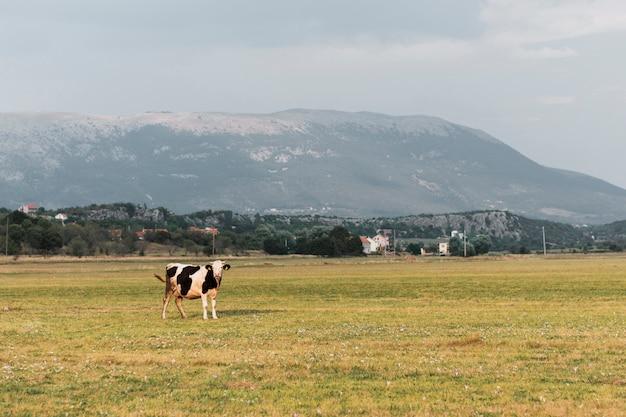 Urocza krowa patrzy w kamerę