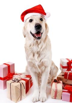 Urocza labradorka w kapeluszu świętego mikołaja siedząca z pudełkami prezentowymi, na białym tle