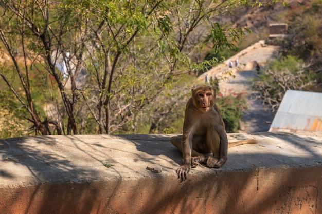 Urocza małpa z indii, świątynia małp lub świątynia galta ji w jaipur.