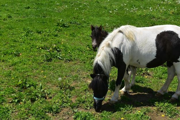 Urocza miniaturowa źrebię konia wychylająca się za mamą
