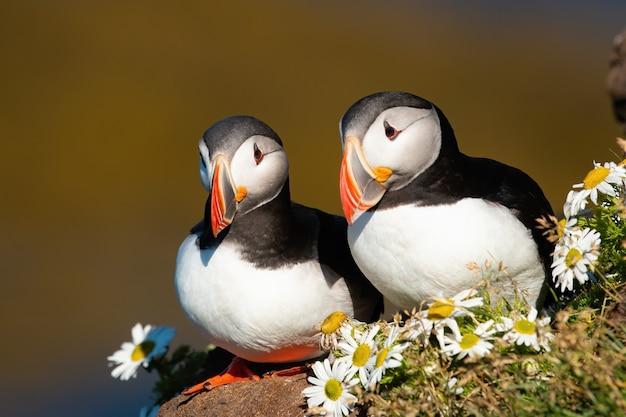 Urocza para maskonurów atlantyckich siedząca blisko siebie w letnim sezonie lęgowym