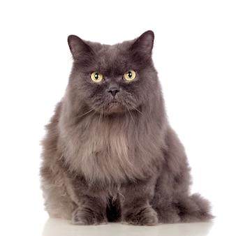Urocza perski kot odizolowywający na białym tle