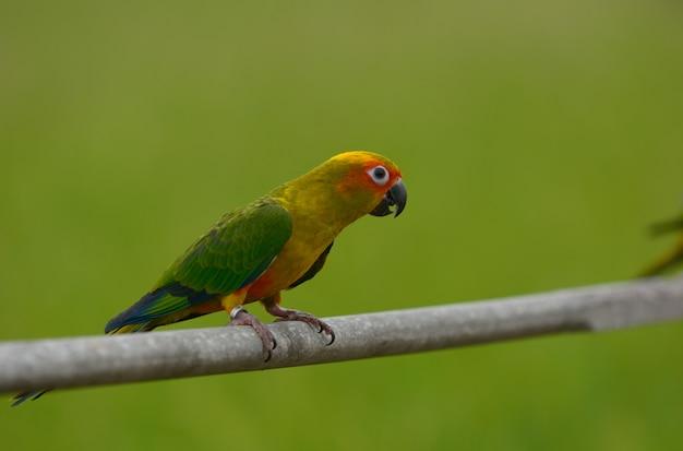 Urocza piękna papuga, słońce conure.