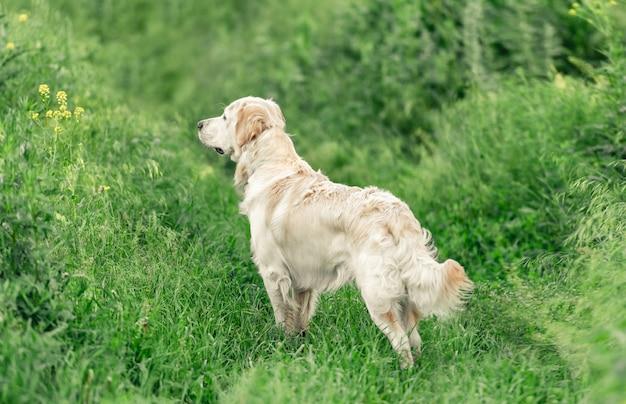 Urocza psia pozycja w zielonej trawie