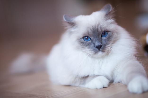Urocza puszysta syberyjska kotka o niebieskich oczach w pomieszczeniu