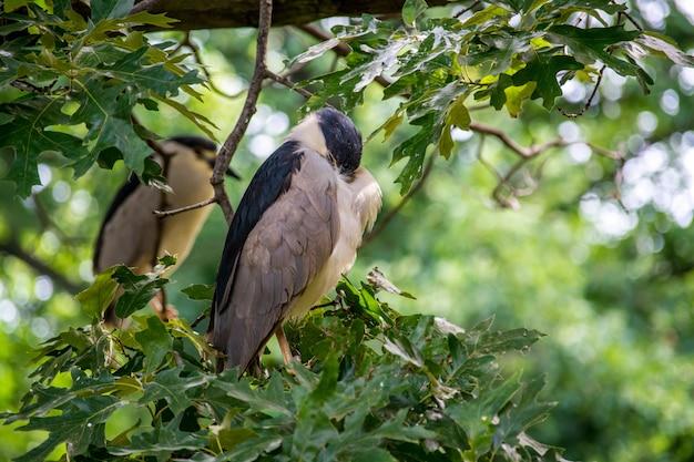 Urocza ślepowron zwyczajny siedzący na gałęziach drzew