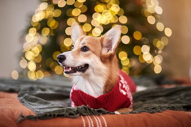 Urocza welsh corgi pembroke w czerwonym swetrze z dzianiny z okazji nowego roku i wesołych świąt