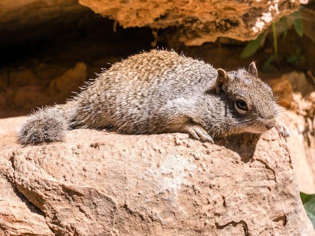 Urocza wiewiórka na skale w yosemite, usa
