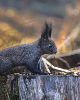 Urocza wiewiórka z chwostem na szczycie ściętego drewnianego drzewa