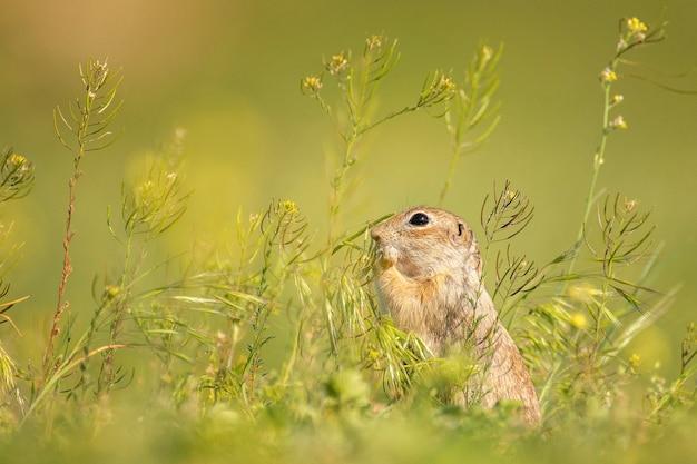 Urocza wiewiórka ziemna spermophilus pygmaeus zjada trawę
