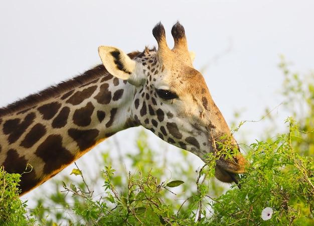 Urocza żyrafa massai w parku narodowym tsavo east, kenia, afryka