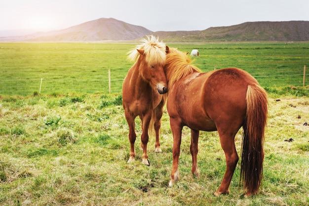 Urocze islandzkie konie na pastwisku z górami