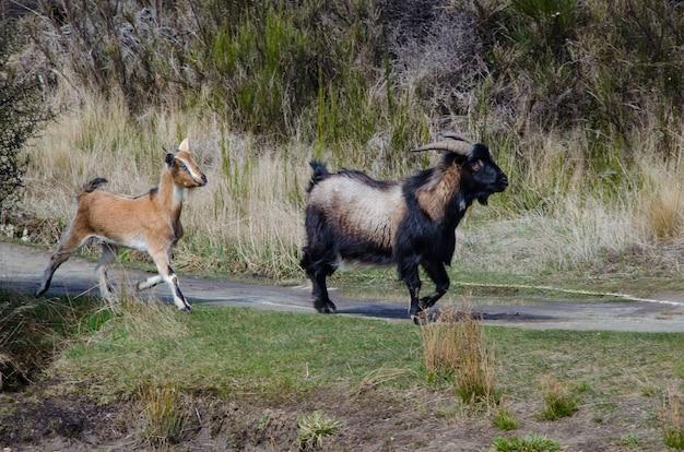 Urocze kozy spacerujące po drodze na wsi w nowej zelandii