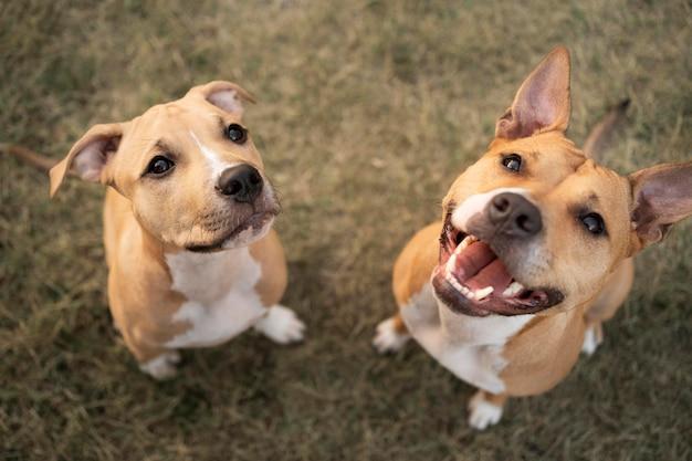 Urocze psy pitbull patrzące w górę