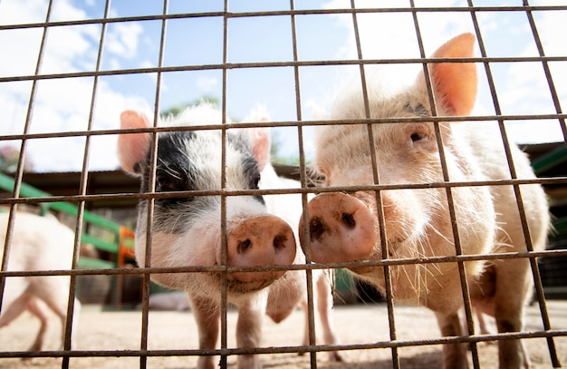 Urocze świnki na farmie