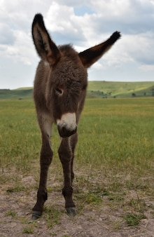 Urocze żebrzące źrebię osła w custer state park w południowej dakocie.